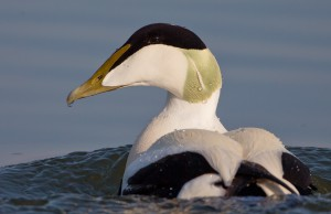 A beautiful Eider